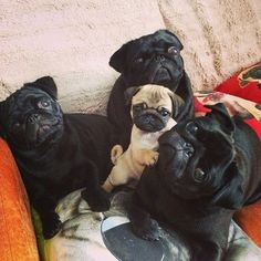 little pug with the gang