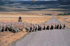 Sheep in Numancia,Chubut,Argentina