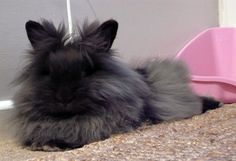 Lionhead rabbit, I have one that looks EXACTLY like this!!! Her name is Pepper!