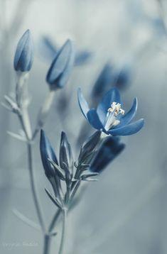 *** by Virginia Badiola - Photo 237708979 / Blue Aesthetic Pastel, Flower Aesthetic, Pretty Flowers, Blue Flowers, Beautiful Flowers Wallpapers, Flower Phone Wallpaper, Blue Wallpapers, Flowers Nature, Flower Pictures