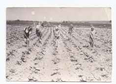 Фото СССР.Дети.Работа в поле.Прополка.Школьники