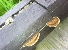 Some variety of little shelf fungus is starting to grow on the railing of the wooden sidewalk through the wetlands.