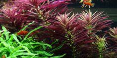 Limnophila hippuridoides - Tropica Aquarium Plants