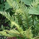 Our native, evergreen shuttlecock fern.