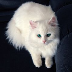 Persian_cat_picture_large