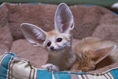 Baby Fennec Fox | Baby Fennec Fox | Flickr - Photo Sharing! Basis for my new Albert and Phoebe character,  Borus