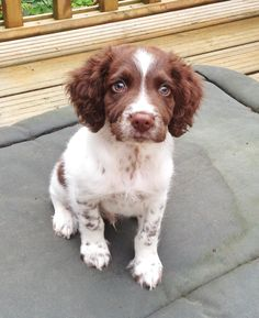 Springer spaniel puppy eyes - Animals-in all shapes and sizes - Cute Dogs And Puppies, Pet Dogs, Doggies, Weiner Dogs, Springer Puppies, Corgi Puppies, Sprocker Spaniel, Spaniel Dog, Spaniels