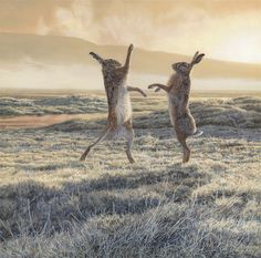 boxing hares, probably territorial behavior