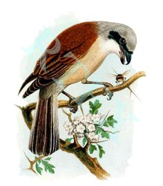 Red Backed Shrike Bird Easter Mother's Day Blank Note Card Print Handmade by RTFX on Etsy