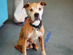 TO BE DESTROYED - 03/12/15 Brooklyn Center -P ~~SENIOR ALERT!!~~  My name is PLUTO. My Animal ID # is A1029488. I am a male brown and white pit bull mix. The shelter thinks I am about 9 YEARS old.  I came in the shelter as a STRAY on 03/05/2015 from NY 11207, owner surrender reason stated was STRAY. https://www.facebook.com/photo.php?fbid=972187552794124
