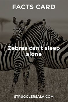 Zebras - All the Interesting Information You're Wondering Here Wierd Facts, Wow Facts, Real Facts, Wtf Fun Facts, Funny Facts, Amazing Science Facts, Some Amazing Facts, Unbelievable Facts, True Interesting Facts