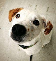 Dexter Parson Russell Terrier   Pawshake