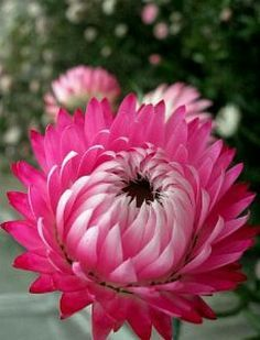 Pink double Strawflower (Helichrysum Bracteatum) - for full sun and height
