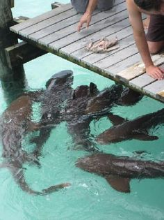 exuma sandals emerald bay | Sandals Emerald Bay Photo: nurse sharks a staniel cay