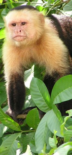 The White-fronted Capuchin monkey is a very small monkey, highly adaptable and pleasant, and highly intelligent.  Central and South America.