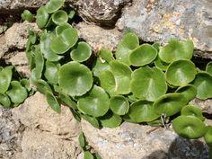 Vous arrive-t-il de vous demander si vous pouvez manger telle ou telle plante sauvage qui pousse dans votre jardin (ou que vous trouvez sur le bord des routes, des forêts) ? Comment les reconnaitre ? quelles sont leurs utilités, propriétés … ? Comment les anciens les utilisaient pour soulager certaines maladies … ? Sujet passionnant …