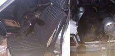 Homem rouba boi em Upanema (RN) e coloca animal dentro de Fiat Uno