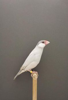 Photo by Luke Stephenson from the series 'The incomplete dictionary of show birds'. This is Java Sparrow #3.