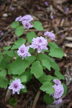Rue Anemone for sale buy Anemonella thalictroides 'Shoaf's Double Pink' long bloom pretty foliage