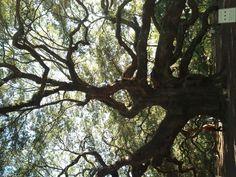 Angel Oak Tree... great for climbing haha