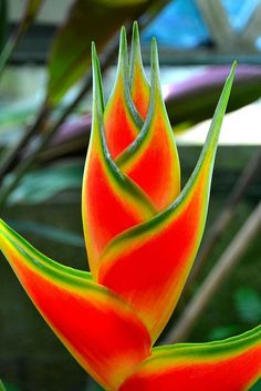 Carnival of color: 30 of the most incredible multi-colored flowers in the world_Flower Heliconia. Photo By Leafypages Unusual Flowers, Rare Flowers, Amazing Flowers, Beautiful Flowers, Cool Flowers, Beautiful Beautiful, Tropical Flowers, Tropical Plants, Colorful Flowers