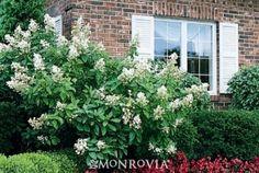 new favorite Hydrangea: Tardiva Hydrangea (Hydrangea paniculata 'Tardiva'). Beautiful in standard form.