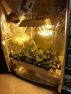 Another shot of our California Bell Peppers in soilless hydroponics.