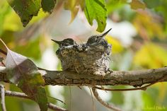 anna s hummingbird nest anna s hummingbird nest Hummingbird Nests, Humming Bird Feeders, Small Art, Small Birds, Hummer, Wild Birds, Bird Feathers, Wonders Of The World, Insects