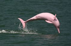 The #Pink #Dolphin of the #Orinoco
