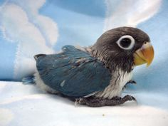 I had a lovebird named Midnite that probably looked just like this little guy when she was a baby. Awwwww.....