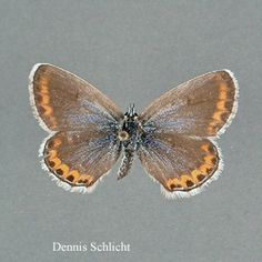 Lycaeides melissa (Dennis Schlicht)