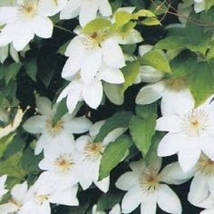 Includes 1 Blue Light and 1 Josephine clematis varieties. Clematis Trellis, White Clematis, Clematis Varieties, Screen Plants, Pergola Pictures, White Plants, Plant Lighting, Moon Garden, How To Attract Hummingbirds