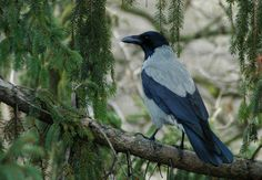 Hooded crow, one of the species we've clocked in our 'Backyard Birds' project.