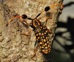 https://flic.kr/p/dhmPM9 | Longhorn Borer (Aristobia approximator, Lamiinae, Cerambycidae) | True to its nature, this large and vibrant longhorn with tufted antennae had just commenced to chew through the bark on this tree trunk. Pu'er, Yunnan, China