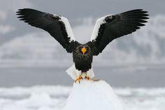Photo Evil Dark Angel by Harry Eggens on Raptors, Steller's Sea Eagle, Happy Fox, Destinations, Dark Angels, Mundo Animal, Big Bird, Wild Nature, Birds Of Prey