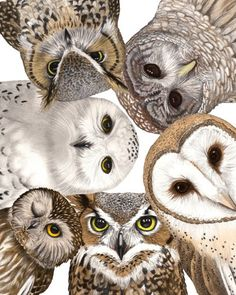 Not a photograph but just had to pin it because they are so true to life. Owl Party, Print, Original Drawing by Wendy Hogue Berry Owl Bird, Bird Art, Pet Birds, Owl Photos, Owl Pictures, Owl Artwork, Beautiful Owl, Owl Crafts, Tier Fotos
