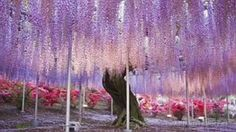Flowers that are out of this world: Enchanting wisteria vines in Japan are real-life version of blockbuster Avatar's Tree of Souls   Mail On...