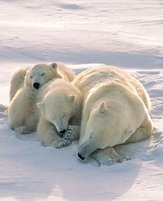 Mom and cubs take an afternoon nap on the Arctic tundra • photo: outdoorsman on http://www.shutterstock.com/pic-116102626/stock-photo-polar-bear-with-cubs-sleeping-on-arctic-tundra.html?utm_campaign=Idee%20Inc.&tpl=77643-108110&utm_source=77643&irgwc=1&utm_medium=Affiliate