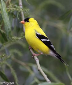 Male American Goldfinch! I just saw 3 at my bird feeder! Thet are so beautiful!! What a nerd I am!!