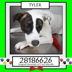 STILL LISTED! **Fort Worth, TX - Current Status: IMMEDIATE TAG NEEDED - Scheduled for euthanasia 7/2  Reason for URGENT: Hair Loss  Animal ID: 28186626 Name: Tyler Breed: Shepherd/Pit Bull mix Sex: Male Age: 1 year https://www.facebook.com/fwaccurgents/photos/a.866615710077191.1073742653.137921312946638/885774334827995/?type=3&theater
