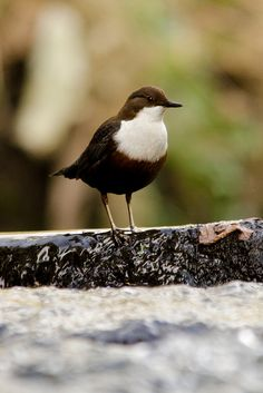 Dippers are members of the genus Cinclus in the bird family Cinclidae, named for their bobbing or dipping movements.