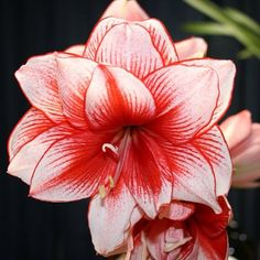 #Amaryllis is an extremely #poisonous, #tropical #houseplant. Most #toxins are housed in the #bulb...