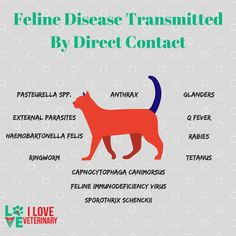 Feline Diseases Transmitted by DIrect Contact - Infographic Veterinary Care, Veterinary Medicine, Veterinary Technician, Vet Tech Quotes, Nurse Cat, Cat Vet, Vet Tech Student, Medicine Notes, Wonder Pets