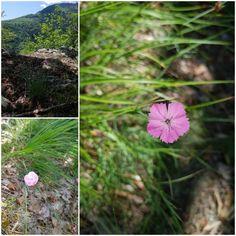 Dianthus sp- Garofiță Flora, Plants, Plant, Planting