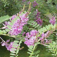 Indigofera tinctoria, the plant that produces indigo dye.