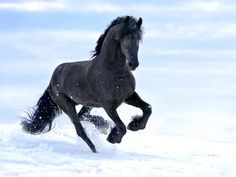Photographs of Friesian horses by Ekaterina Druz Equine Photography Horses In Snow, Black Horses, Wild Horses, Free Horses, Horses And Dogs, Most Beautiful Horses, Pretty Horses, Running Pictures, Winter Horse