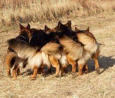 #German #Shepherds party