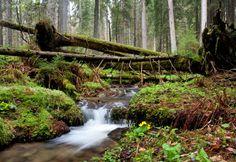 The Boubín  virgin forest czech republic