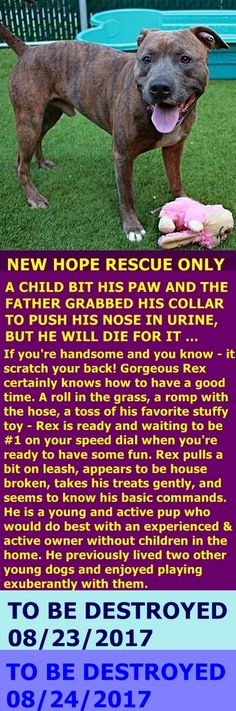 SAFE 8-24-2017 by Amsterdog Animal Rescue --- Manhattan Center My name is REX. My Animal ID # is A1121971. I am a male br brindle and white am pit bull ter mix. The shelter thinks I am about 2 YEARS I came in the shelter as a OWNER SUR on 08/14/2017 from NY 10453, owner surrender reason stated was BITEPEOPLE. http://nycdogs.urgentpodr.org/rex-a1121971/
