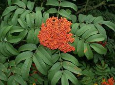 Sorbus sargentiana (Lijsterbes)